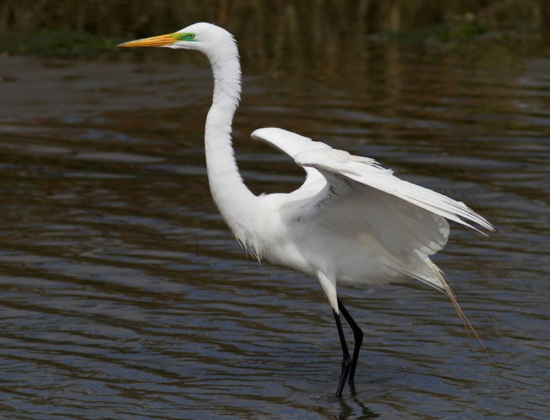 Egret in Breeding Color