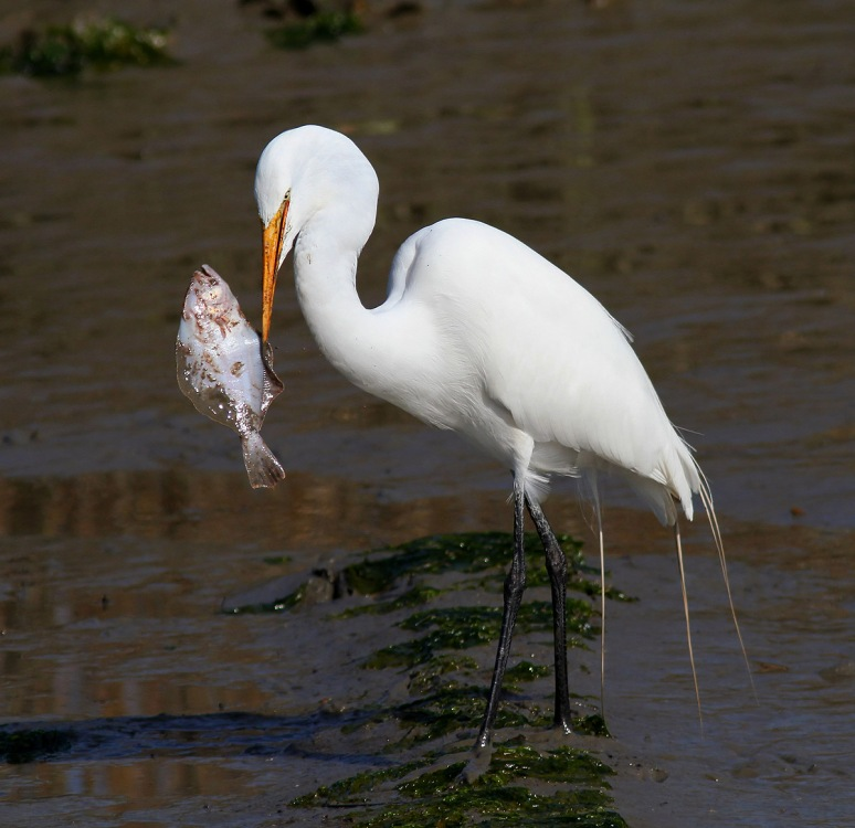 Egret With Flounder