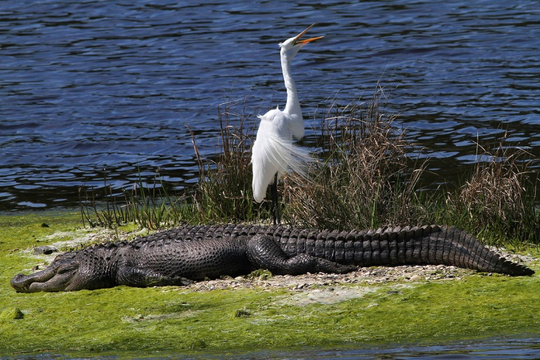 Napping Alligator and Egret