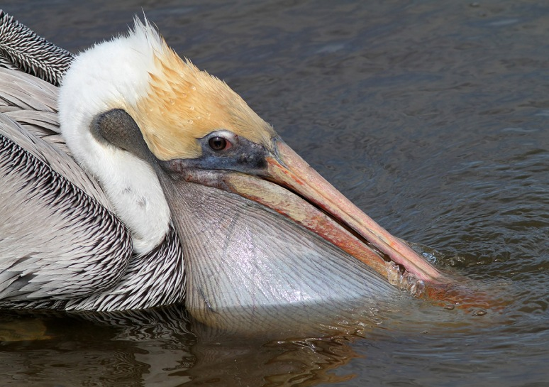 Pelican Catches Small Fish