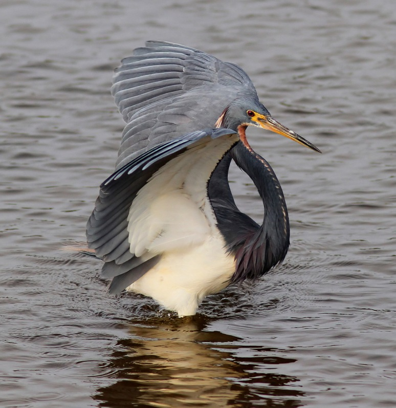 Tricolored Heron Flying and Fishing
