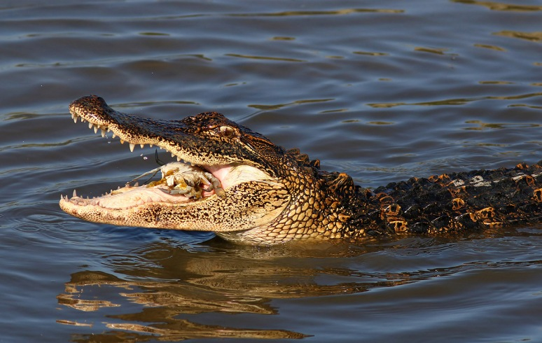 Alligator Catching Crab in the Salt Marsh