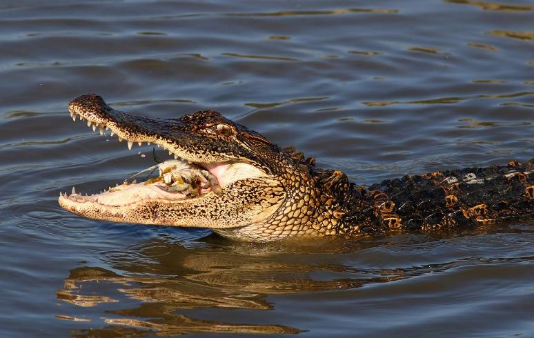 Alligator Catching Crab in the Salt Marsh
