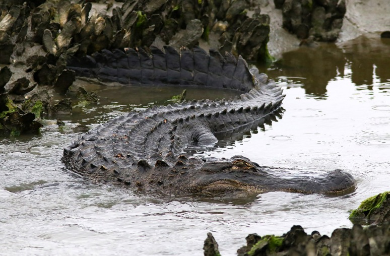 Alligator Feeding in the Salt Marsh