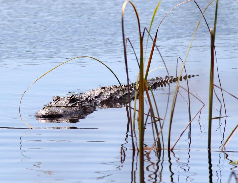 Alligator Missing The Target