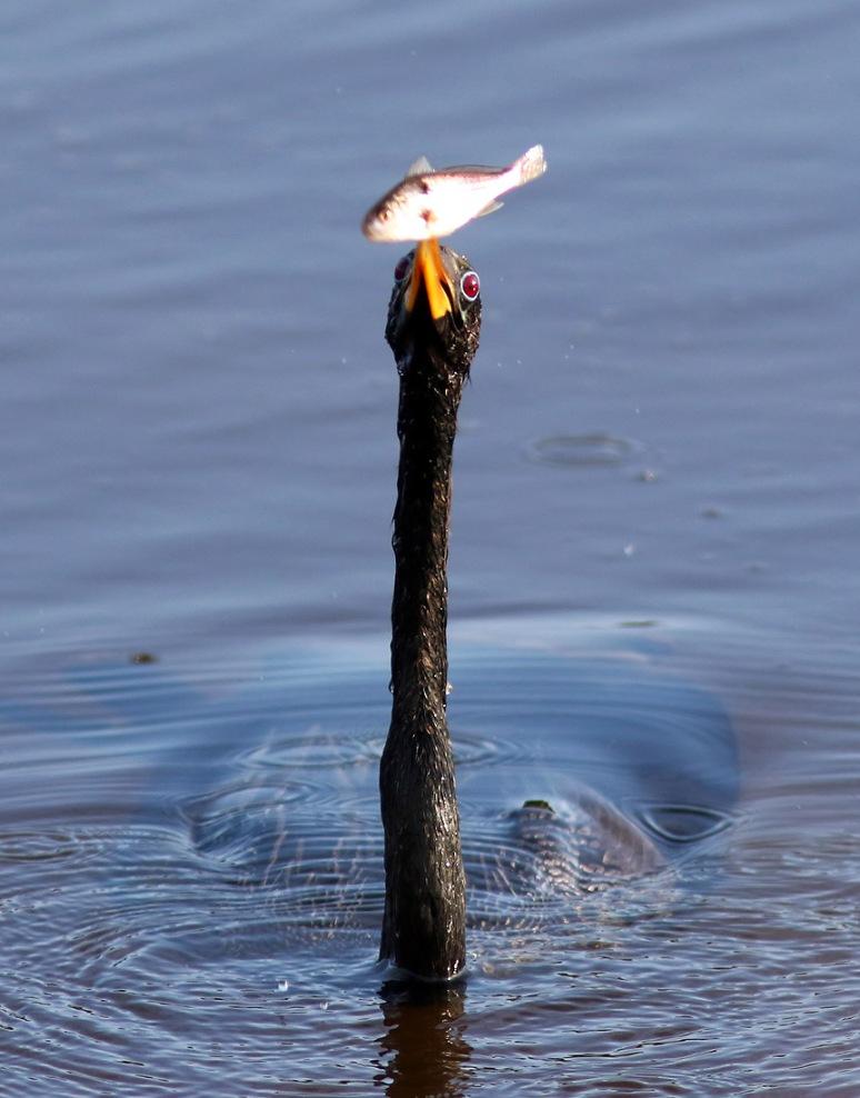 Anhinga Juggling Fish