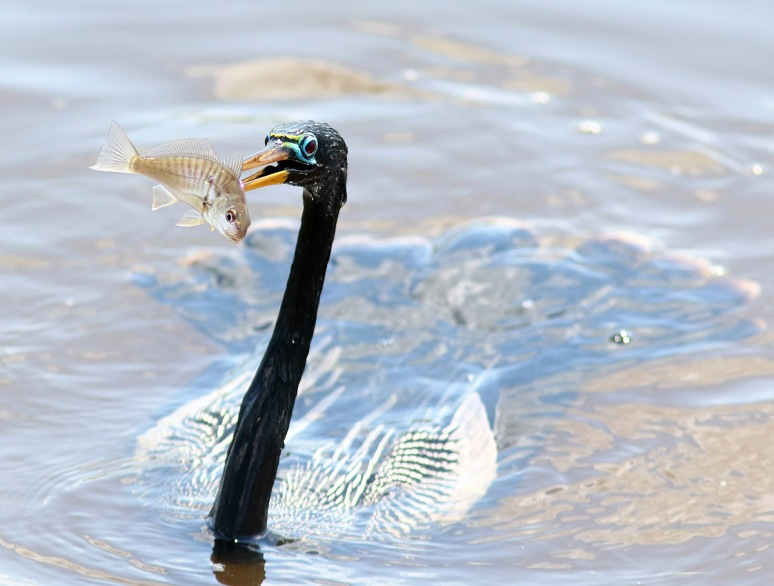 Anhinga Playing With His Food