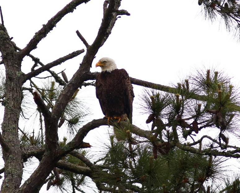 Bald Eagle in the Rain