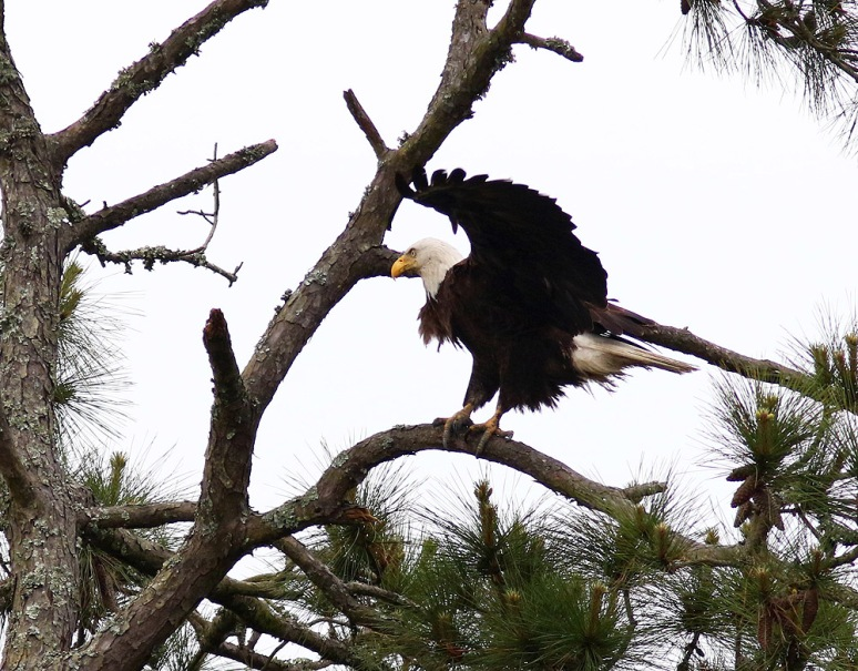 Bald Eagle Jumps Off From Pine Tree