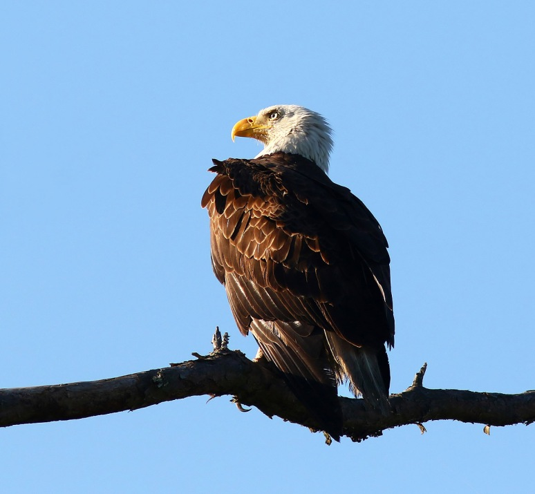 Bald Eagle Sitting in a Pine Tree