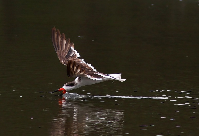 Black Skimmer Hits The Salt Marsh