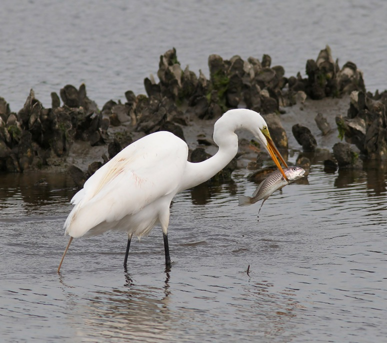 Egret Drops Big Breakfast