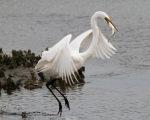 Egret Drops BigBreakfast