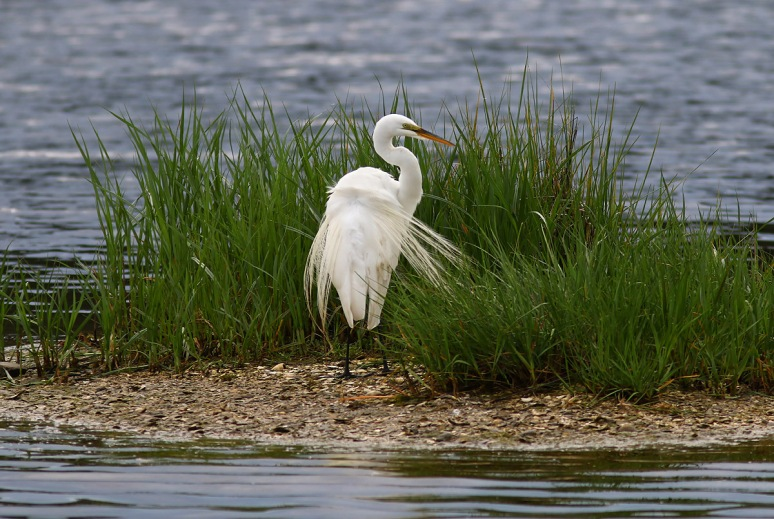 Egret Preening and Butt Shot