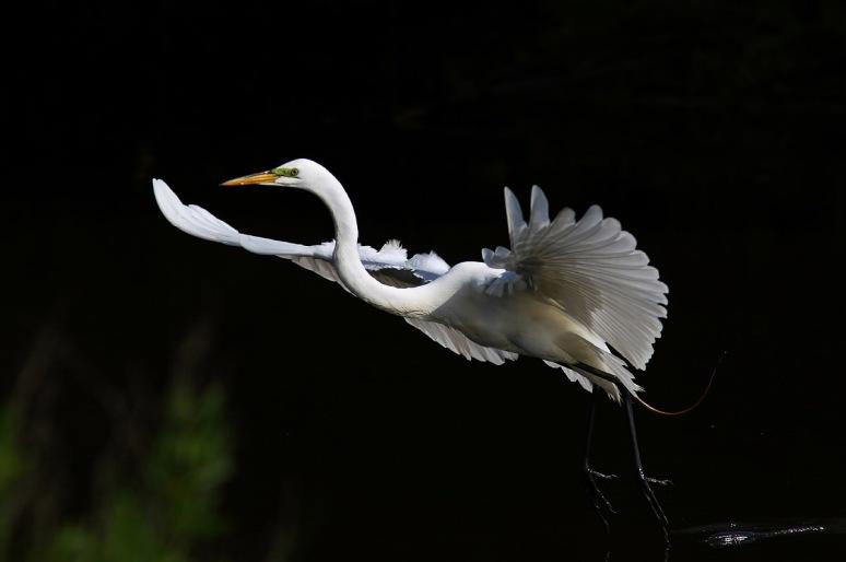 Egrets Leaving The Marsh