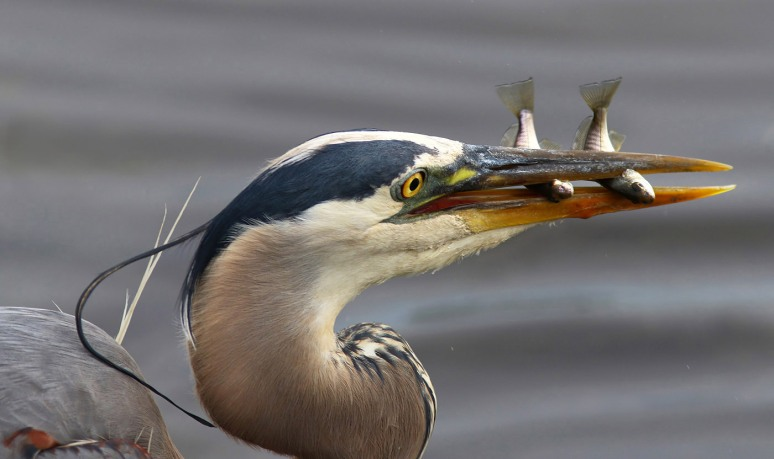 GBH With Two Fish