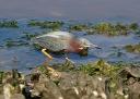 Green Heron Fishing in the Salt Marsh