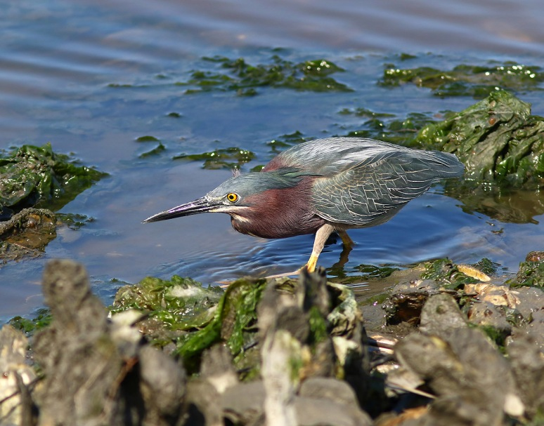 Green Heron Fishing in the Salt Marsh