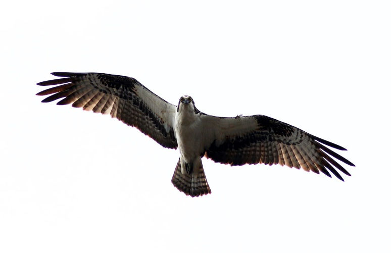 Osprey Flight Under Grey Sky