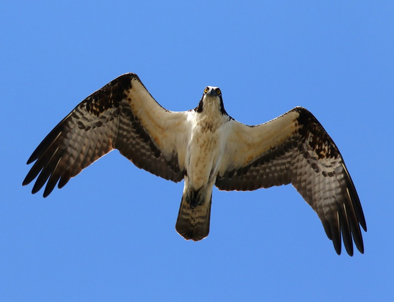 Osprey Taking Care of Business