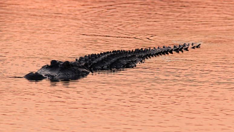 Alligator at Sunset