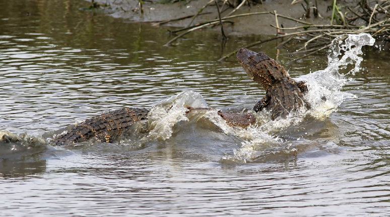 Alligator Fight and Fish in Salt Marsh