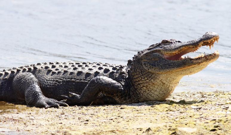 Alligator Greeting