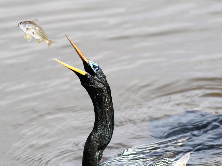 Anhinga Tossing His Fish