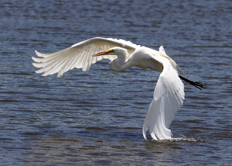 Egret Fighting The Wind