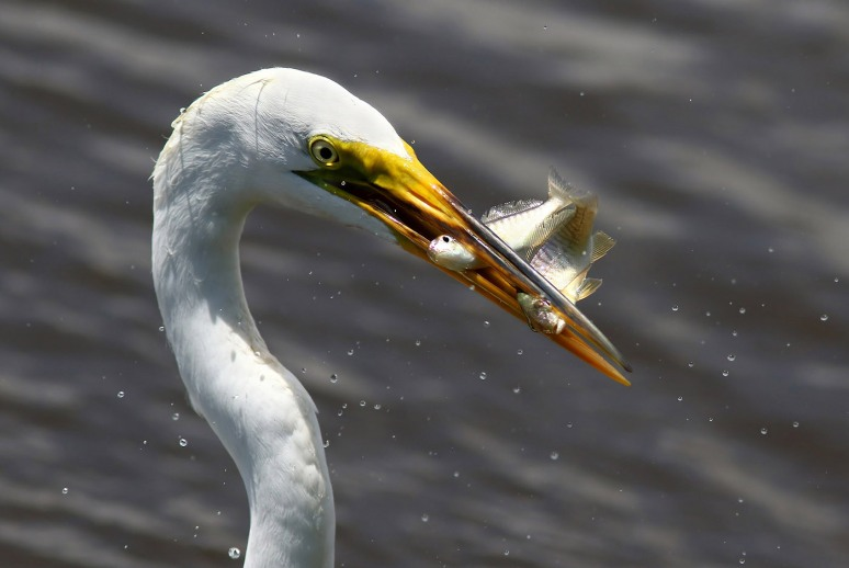 Egret With Two Fish