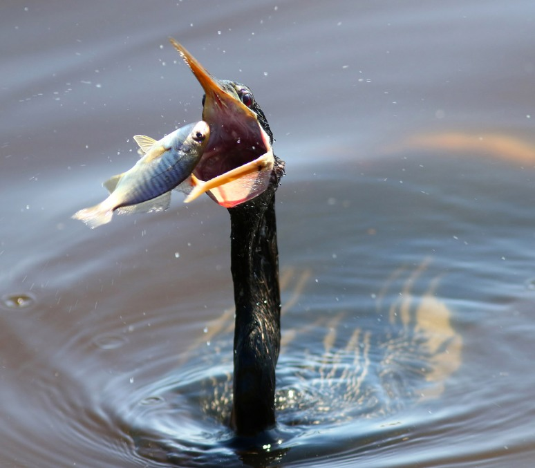 Nice Catch By Anhinga