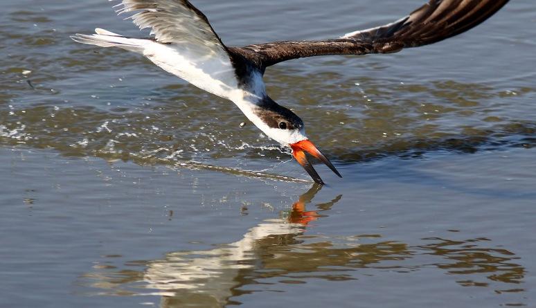 Skimmer Makes A Quick Pass