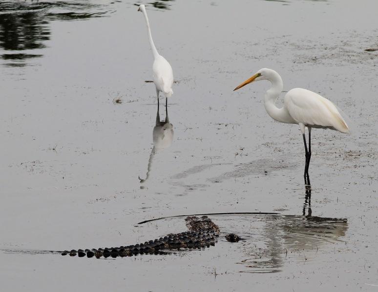 Egret Chases Off Gator