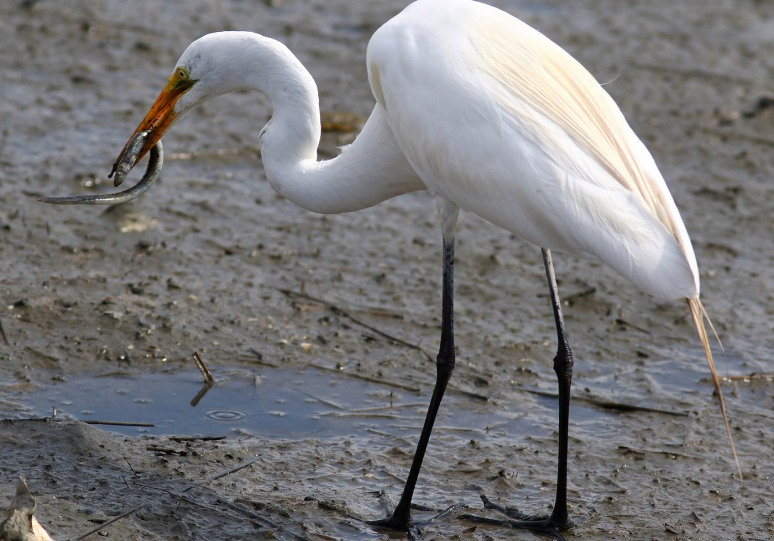 Egret Snags an Eel