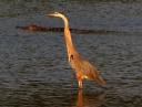 GBH and Alligator in Salt Marsh