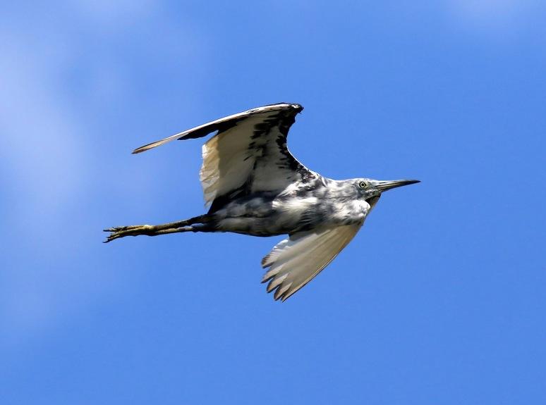 LBH Tweener Flight