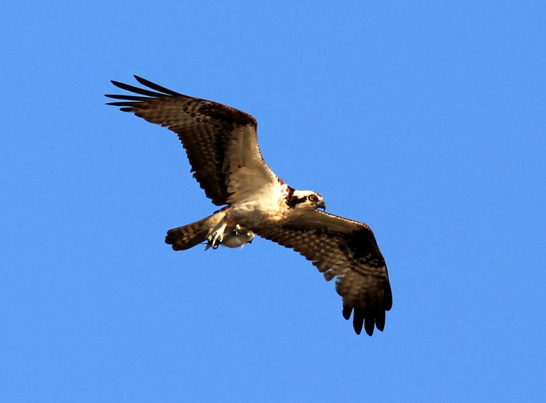 Osprey Flying Back With Fish