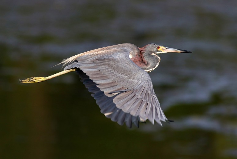 Tricolor Fishing and Flying in the Marsh