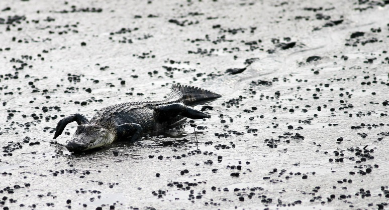 Alligator Creeps Into Salt Marsh