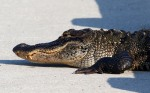 Alligator Just LayingAround