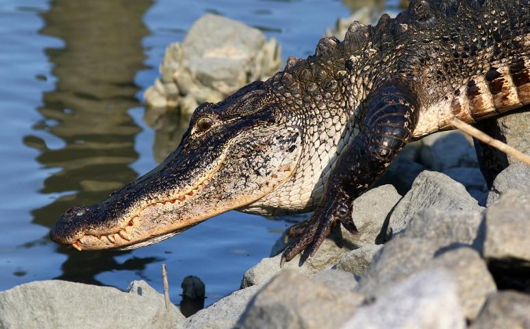 Alligator Just Laying Around