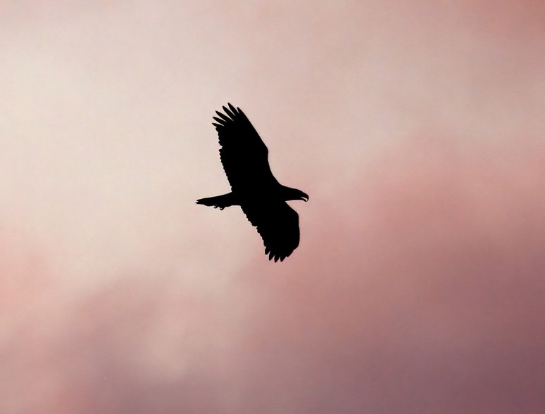 Bald Eagle Sunset Silhouette
