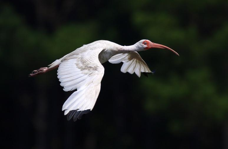 Clean White Ibis