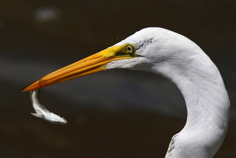 Egret Grabs Quick Breakfast