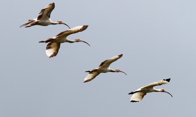 Ibis Flight Group