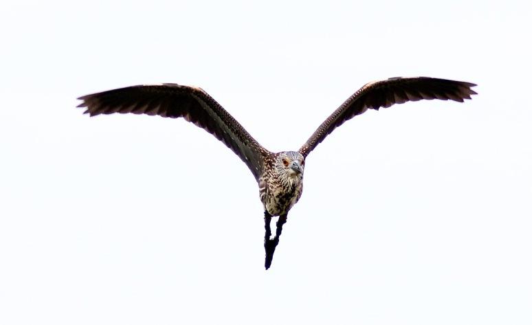 Night Heron Flies In