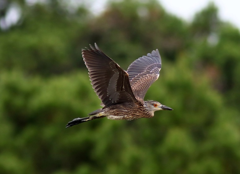 Night Heron Flies In