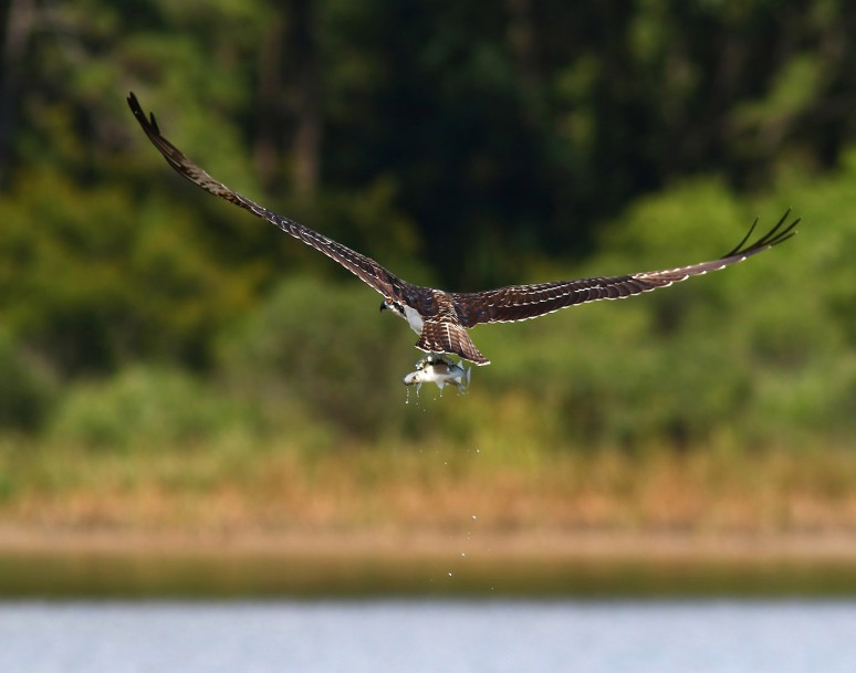 Osprey Catches Two Fish