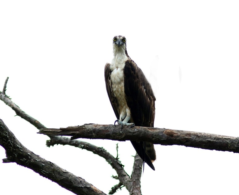 Osprey Giving Me The Look