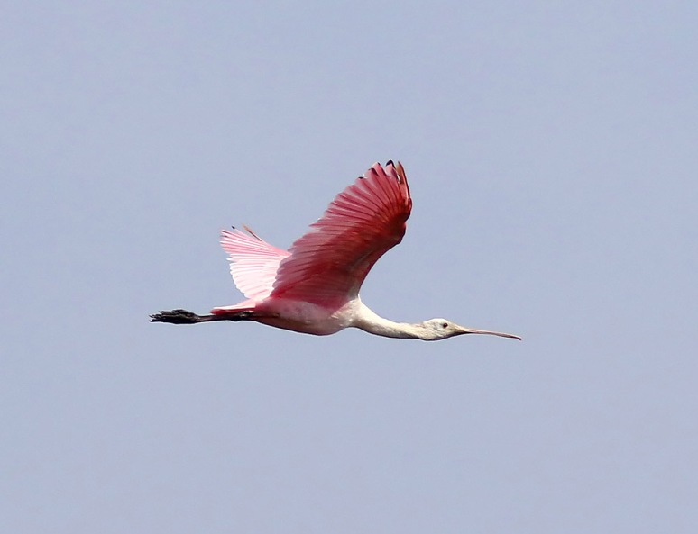 Spoonbill Arrives at the Marsh